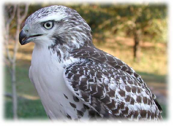 Red-Tail image