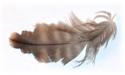Feather lice image