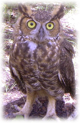 Great Horned Owl image