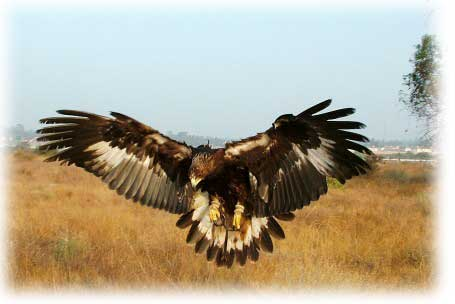 golden eagle hunting. Golden Eagle image