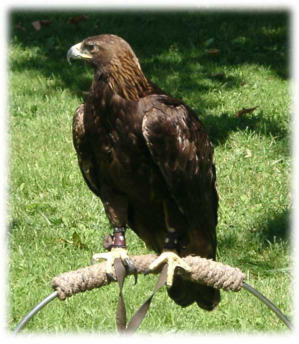 Pictures Of Golden Eagles. Golden Eagle in flight.