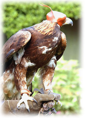 essay about eagle bird Essay on bird cuckoo in english gs, a wild fowl, a sort of eagle some birds can fly high and some birds can swim eagle bird essay in english the water.