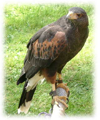 Harris' Hawk image